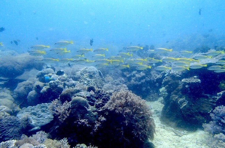 この日はキンセンフエダイの群れがよく通りました!プエルトガレラの海ログ in Sabang Point 2015/04/12