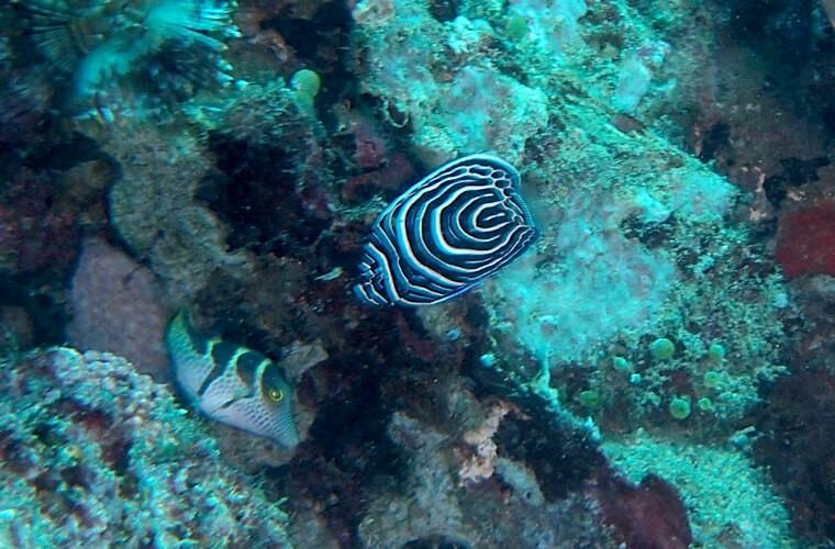 タテジマキンチャクダイやチョウチョウコショウダイの幼魚もちらほら見えてきました。