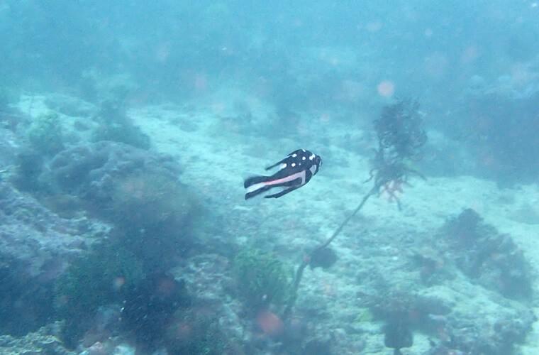 白と黒がはっきりとしたアジアコショウダイの幼魚