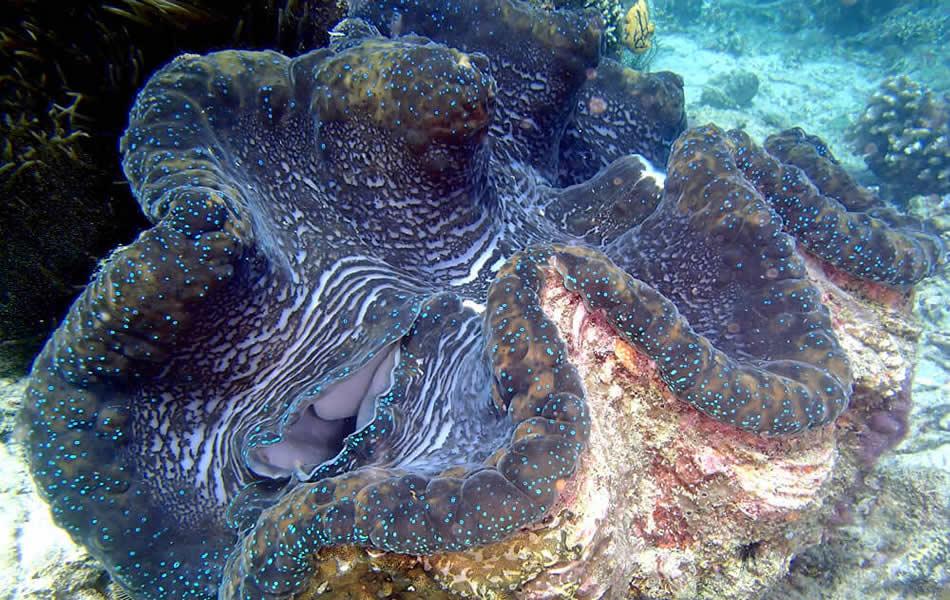 シャコ貝|でっかいシャコ貝がたくさん。この日はハナイカも。プエルトガレラの海ログ in Giant Clam 2015/03/09