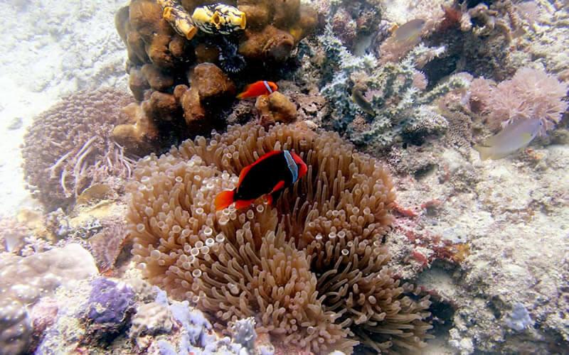 ハマクマノミ|でっかいシャコ貝がたくさん。この日はハナイカも。プエルトガレラの海ログ in Giant Clam 2015/03/09