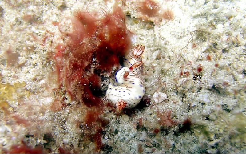 でっかいシャコ貝がたくさん。この日はハナイカも。プエルトガレラの海ログ in Giant Clam 2015/03/09