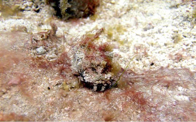 オニダルマオコゼの赤ちゃん|でっかいシャコ貝がたくさん。この日はハナイカも。プエルトガレラの海ログ in Giant Clam 2015/03/09