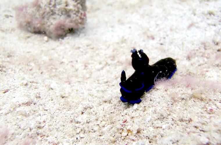 青と黒がきれいなミドリリュウグウウミウシ。