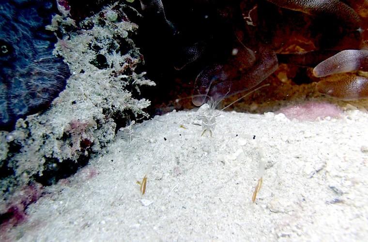6プエルトガレラの海にはどのくらいエビの種類がいるんでしょ?オシャレカクレエビ。