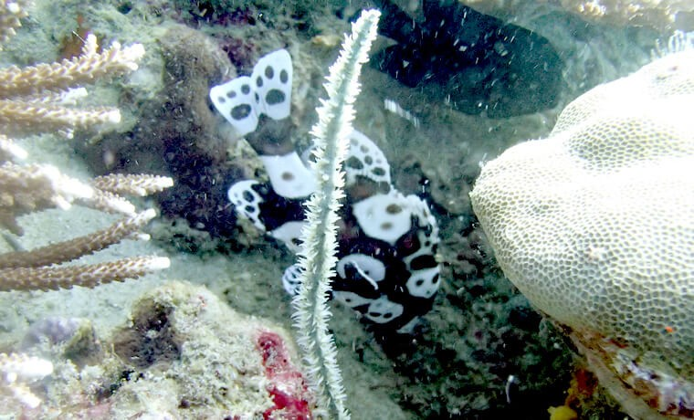 ヒラヒラとかわいい姿を見つけると追いかけてしまうチョウチョウコショウダイの幼魚と若魚。いつかそこそこの写真を取りたいです・・。