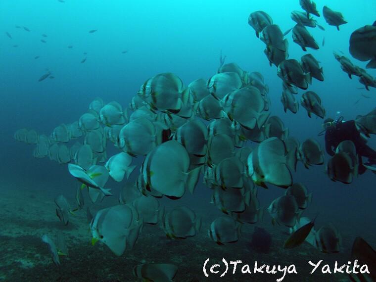 アロマジェーンという沈船ポイントに集まるナンヨウツバメウオの群れ、ここまでの群れは中々見れないですね!!!世界の海に潜っている!という感覚に包まれます。