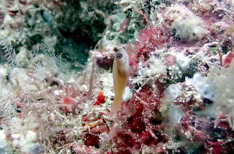 ベニハゼの一種かな?サバンレックに行くと特に多く見られる気がしています。珍しいわけじゃないんでしょうが、好きな方はサンゴや沈船にたくさんいるのでゆっくり写真も取れるかも?