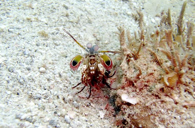 よくいるモンハナシャコですが、正面からまじまじと見てみると色もきれいで面白い生き物です。