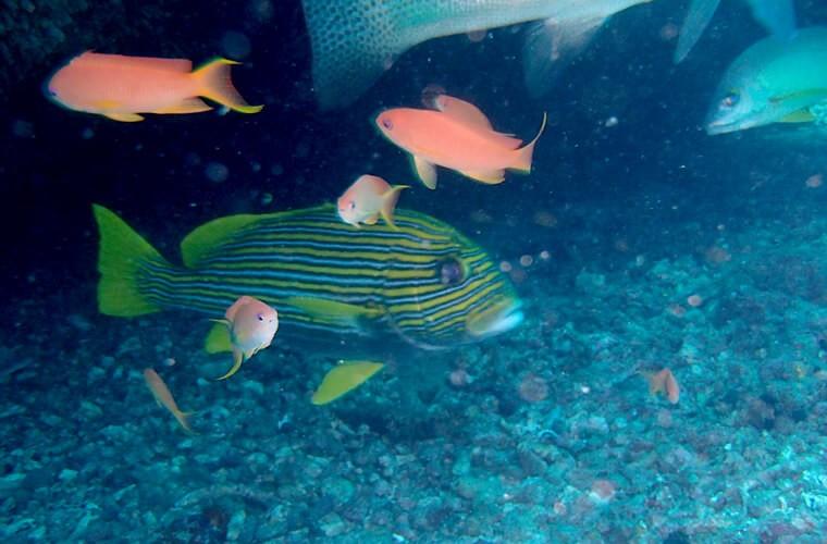 船の下で3種類の大きい魚がぐるぐるしてました!3本ラインが目立つイエローリボンスイートリップスとバラフエダイ、あとなんかの魚・・。