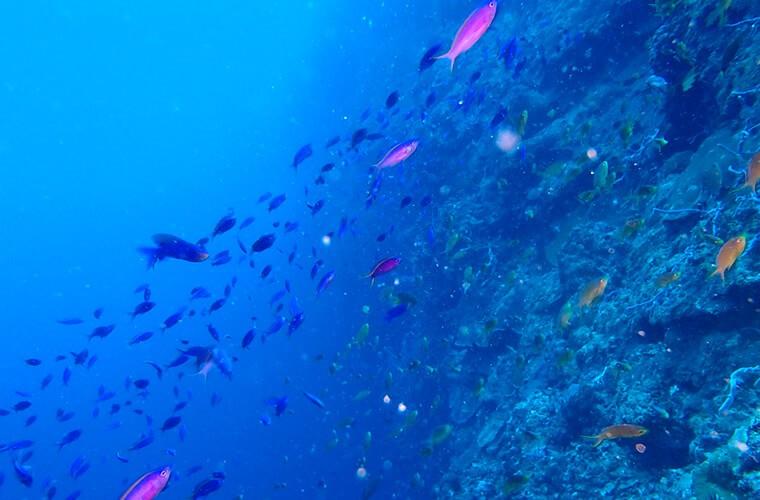 どこのポイントも素敵なドロップオフ!特にパープルビューティーがひしめくペスカドール島はほんとにきれいでした。