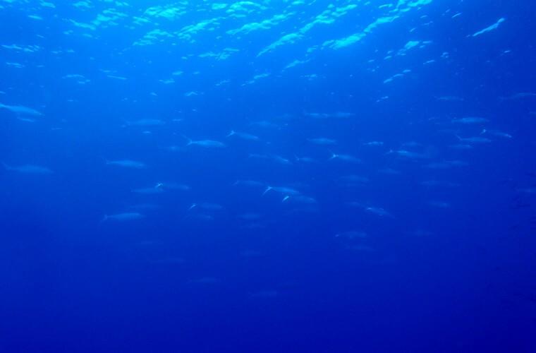 魚の群れがびゅんびゅん通る時は興奮!一度にカメが視界に5匹なんてことも。(写真はミルクフィッシュ)